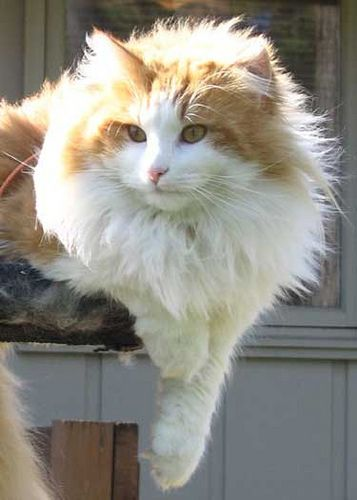 Pretty orange tabby and white norwegian forest cat ...