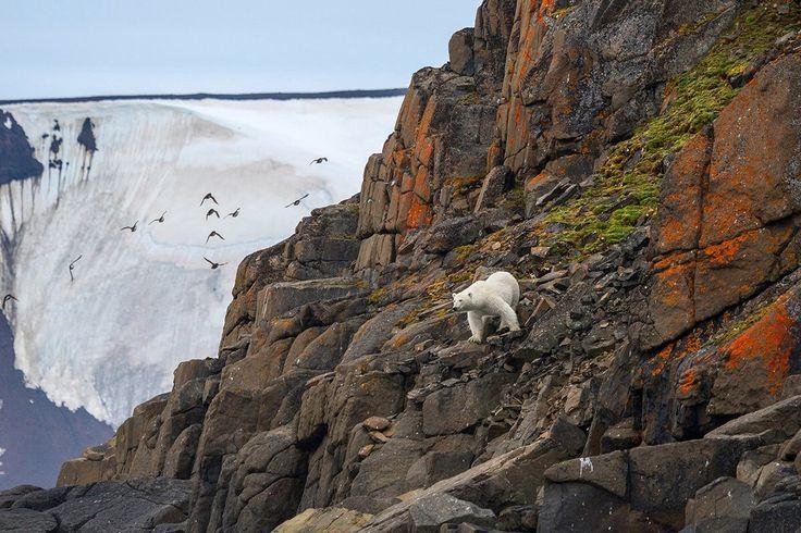 «Скалолаз». Национальный парк «Русская Арктика». Белый медведь, Животные, фотография, Россия, парк, Природа
