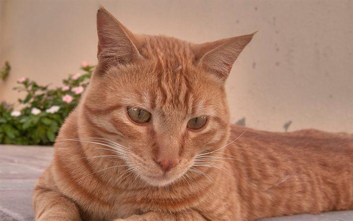 Hämta bilder Arabian Mau Katt, Felis catus, 4k, husdjur, ginger katt, söta djur, katter