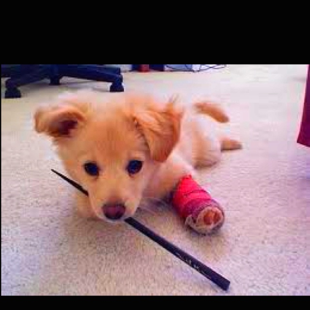 Golden retriever/chihuahua mix. Not sure how thats possible. But thats freaking cute.