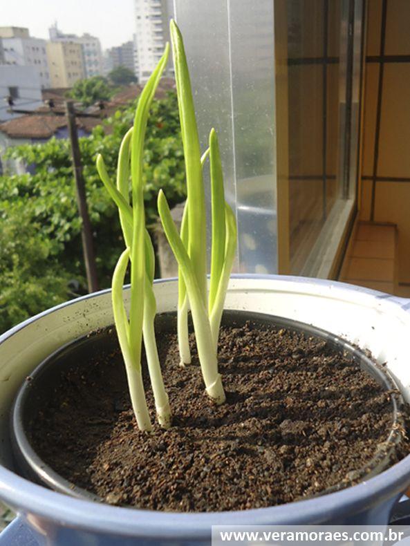 Como plantar alho na sua cozinha  http://www.veramoraes.com.br/2014/05/como-cultivar-alho-na-sua-cozinha.html