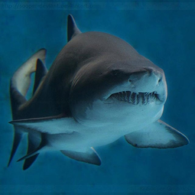 Sand tiger shark; *seriously* look at those teeth. You'd think they were higher on the danger list, but nope. Just look scary.
