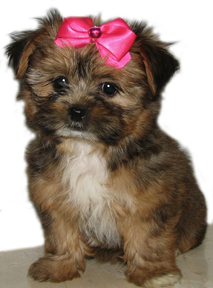 yorkshire terrier and shih tzu mix best 25 yorkie shih tzu mix ideas on pinterest bear 2040