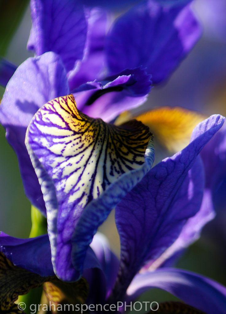 The prettiest of all.. Iris, so bountifully purple and glowing..
