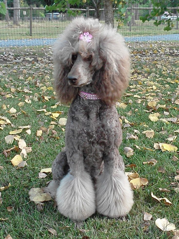 how to cut poodle hair with scissors