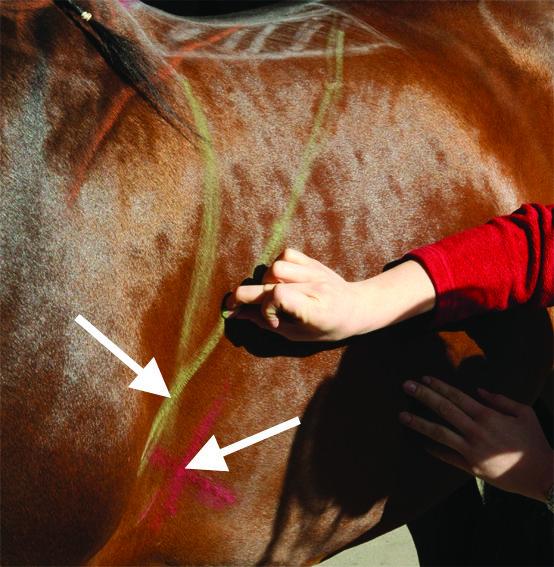 horse misbehaving, horse bucking, girthiness, poorly fitting saddle, jochen schleese, Saddlefit 4 Life, Saddle Fitting, equien ergonomist,  Unwanted behaviour may be caused by a poorly fitting saddle
