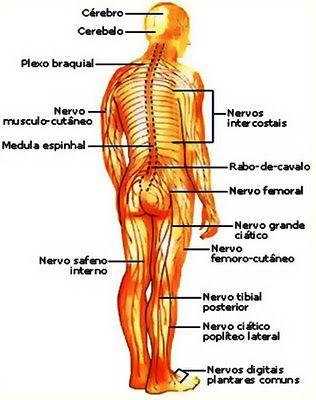 Resultado de imagem para sistema nervoso periférico somático