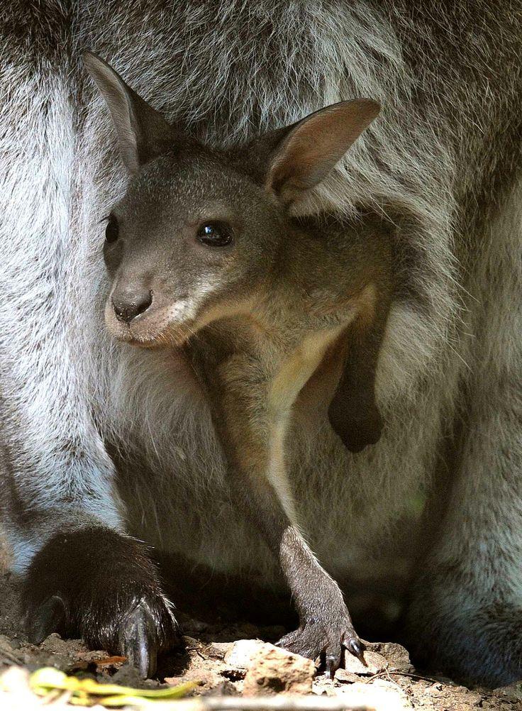 Ce bébé kangourou hésite à sortir de la poche de sa maman.