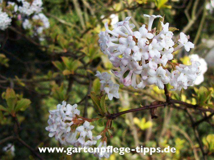 Winterschneeball (Viburnum Bodnantense)