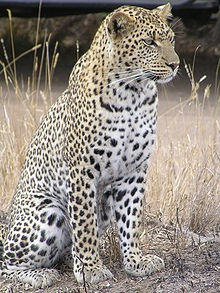 """The leopard (Panthera pardus) is a member of the Felidae family and the smallest of the four """"big cats"""" in the genus Panthera, the other three being the tiger, lion, and jaguar."""