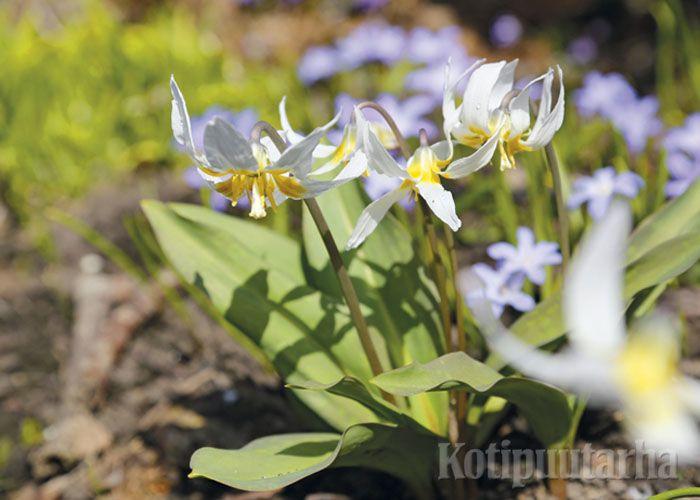 Rusokoiranhammas (Erythronium dens-canis 'Snowflake') www.kotipuutarha.fi