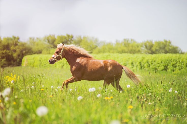 FB: SSF A Gift of Joy to Remember  American Miniature Horse filly portrait equine photography show mare caballo pferd AMH amha gallop canter meadow