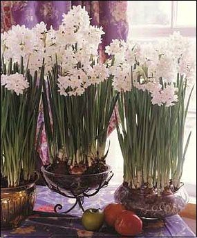 Paperwhites in pretty containers for the holidays...