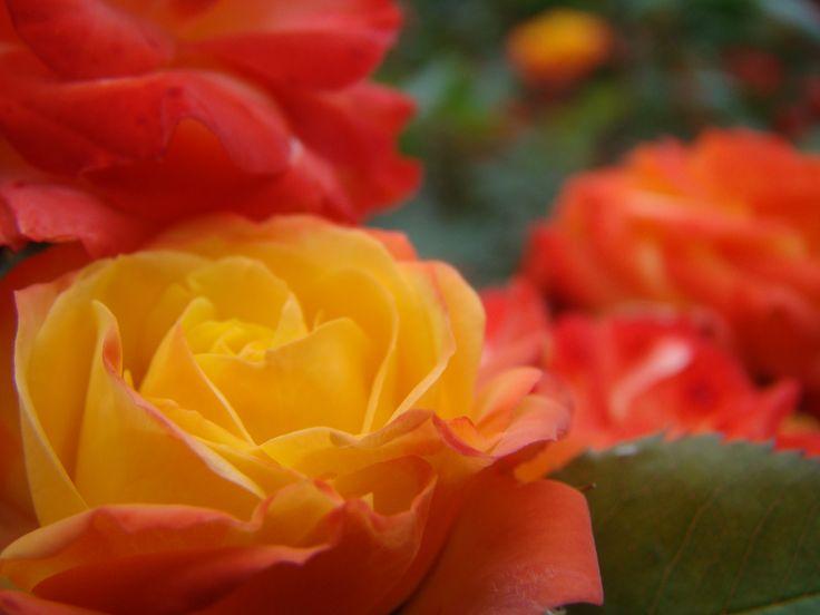 Rosen Rumba är läcker. Den skiftar i färg från knopp till vissen blomma.