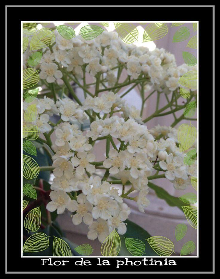 Flores de una planta rosácea (Photinia)