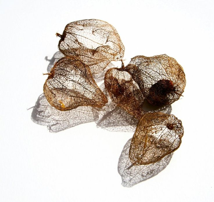 """""""Ornithoid"""" 18/20 prints avilable @ $100 AUD +p&h approx A3 size kferny@hotmail.com This is my work from the exhibition """"Salsa"""" digitally manipulated drawings/photos of skeletal tomatillos"""