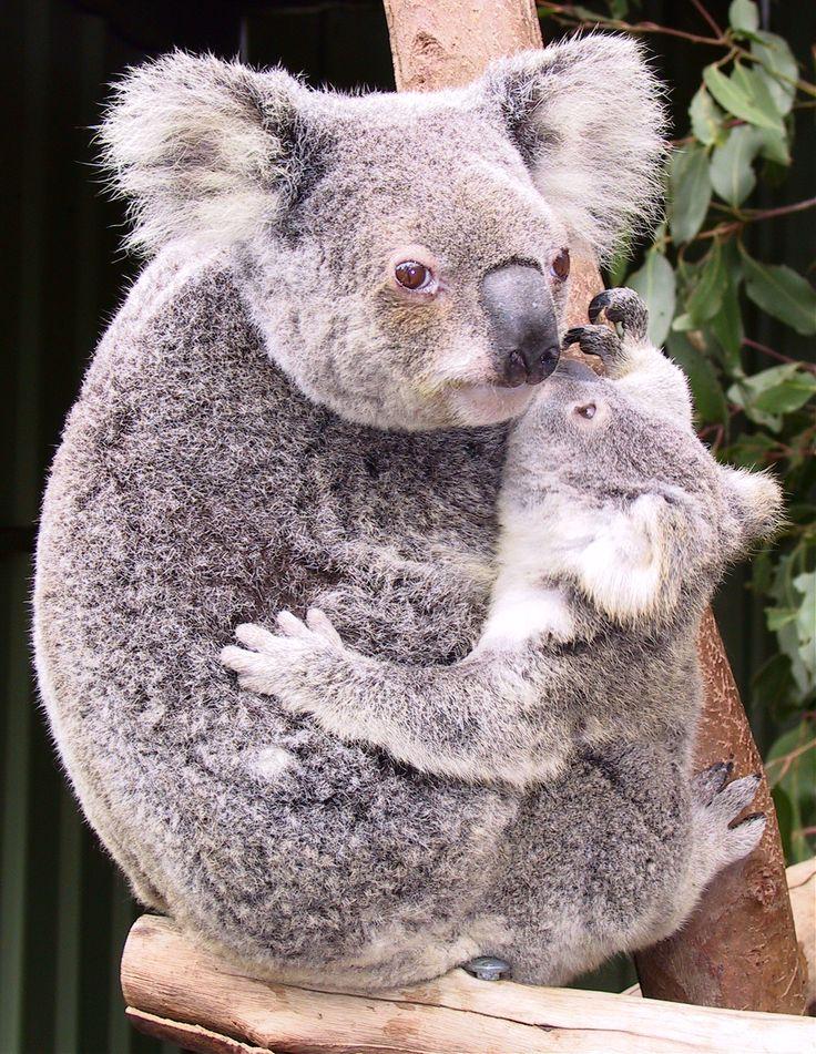 koala | El Koala | Misión Ecológica