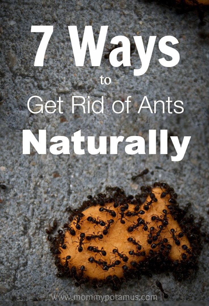 how to get rid of citronella ants