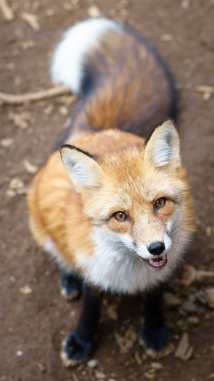 ezo red fox in zao fox village, japan looking for a treat | animal + wildlife photography