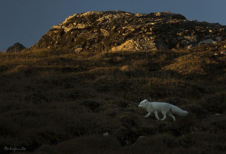 Artic fox by Ola Loe on 500px