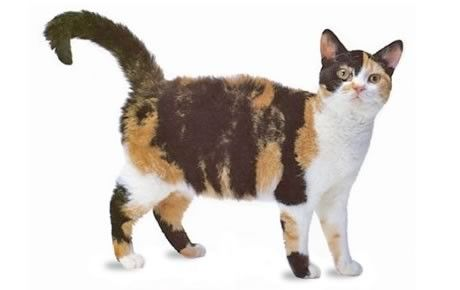 http://cattime.com/cat-breeds/american-wirehair-cats