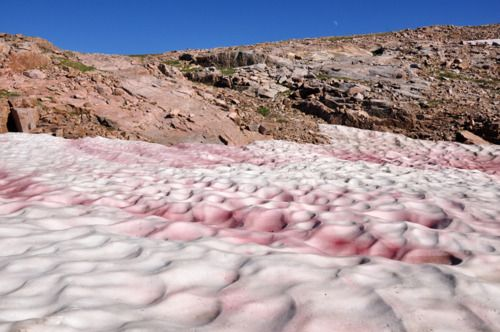 Pink snow, blood snow or watermelon snow, looks like and even smells faintly of watermelon. The pink coloration is due to a cold-loving algae called Chlamydomonas nivalis. This phenomenon is common during the summer in alpine and coastal polar regions worldwide.Pink Snow, Polar Regions, Coastal Polar, Algae Call, Call Chlamydomona, Cold Lov Algae, Chlamydomona Nivalis, Pink Colors, Blood Snow
