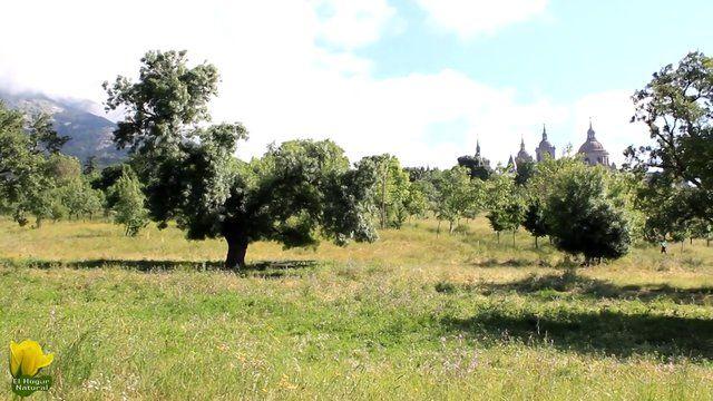 Hermoso ejemplar de quejigo en las cercanias de El escorial. www.elhogarnatural.com