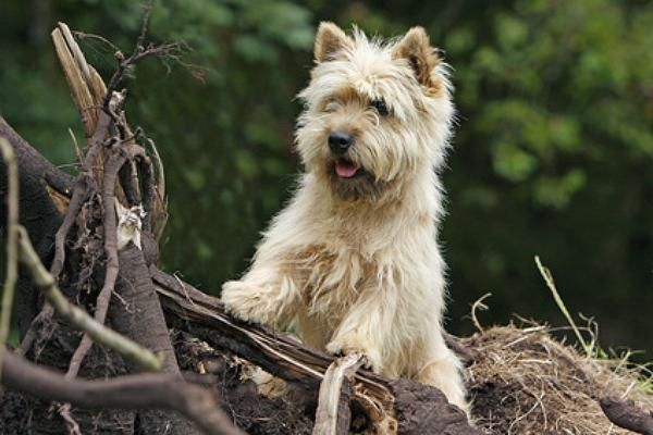Not as cute as Gimli, but pretty darn cute. :) cairn terrier   Cairn Terrier Welpen vom Züchter kaufen