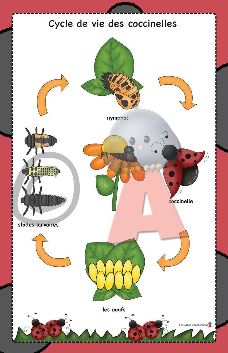 la morphologie des coccinelles