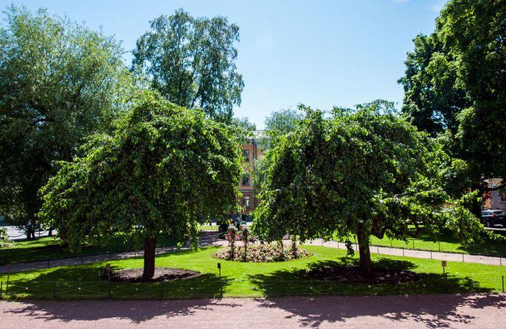 Ritaritalon puistikossa kasvaa kaksi upeaa Rautatienpuuta, jotka ovat Helsingin suurimpia lajissaan [Hemmo Rättyä]