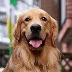 """787 Likes, 12 Comments - Golden Retrievers 💕🎉 (@goldenretrievermoments) on Instagram: """"Nice photography 😁 #goldenretriever #goldenretrievers #goldenretrieverpuppy #goldenretrieversworld…"""""""