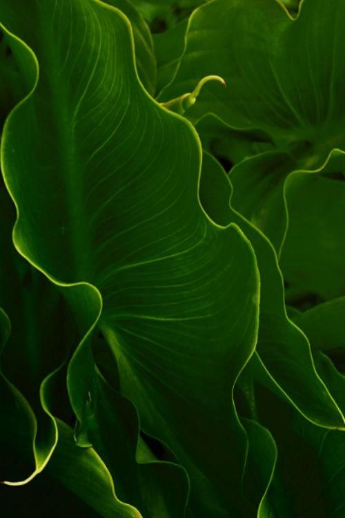 Elephant Ears by Pam Braswell | Elephant Ear Inspiration - love these planted en masse in gardens in Florida ...
