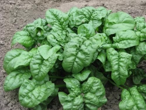 выращивание шпината свойства шпината шпинат полезные свойства шпинат замороженный шпинат фото шпинат польза свежий шпинат размно