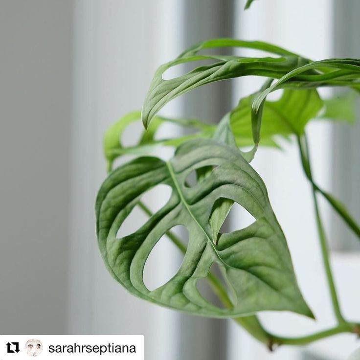 Makasih sudah adopsi mbak Sarah. Memang cantik yang satu ini semoga jadi tanaman klasik ya  #monsteramonday #tanamanbikinhepi .  #Repost @sarahrseptiana  maap masih gemes  . . . . . #philodendron #daunlubang #monsteradeliciosa #indoorplants #xe2s #fujifilm #fujifilmxe2s #fujifilmindonesia