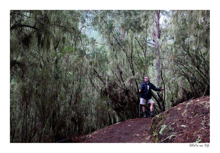 Baardmos bos. Aan de noord kant van Tenerife in het dal van Orotava liggen de oude dennenbossen met baardmossen en dichtbegroeide barrancos van het gebergte Los Organos. (Spain)