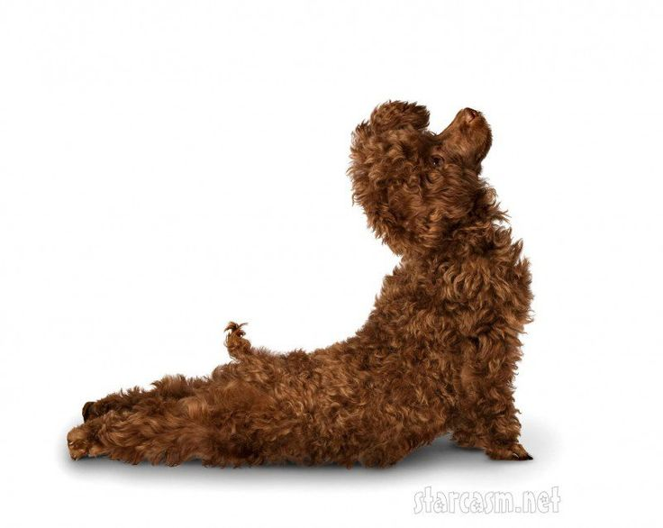 Updog (poodle yoga, dog doing yoga)