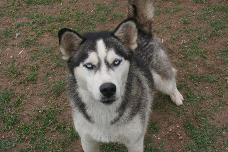 659 _ Shumba. 1,5 Year old black & white male husky with 2 blue eyes. Contact Jasper on 0832312290 or jasper@huskyrescue.co.za