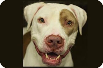 Bellevue, WA - American Pit Bull Terrier Mix. Meet Ninja, a dog for adoption. http://www.adoptapet.com/pet/15683823-bellevue-washington-american-pit-bull-terrier-mix