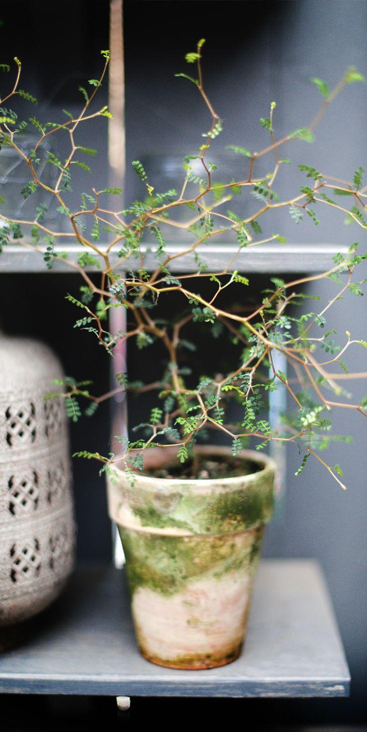 Sophora prostrata I Zetas Trädgård