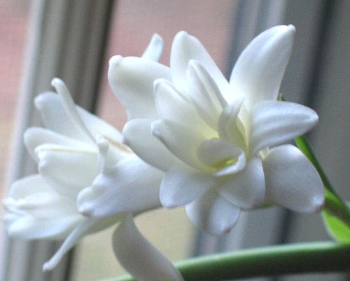 tuberose flower - i'm afraid it comes only in white, but i love this flower!!! very elegant and pretty!