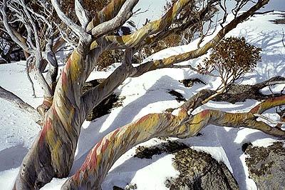 Snowgums on Mt Perisher, Australia