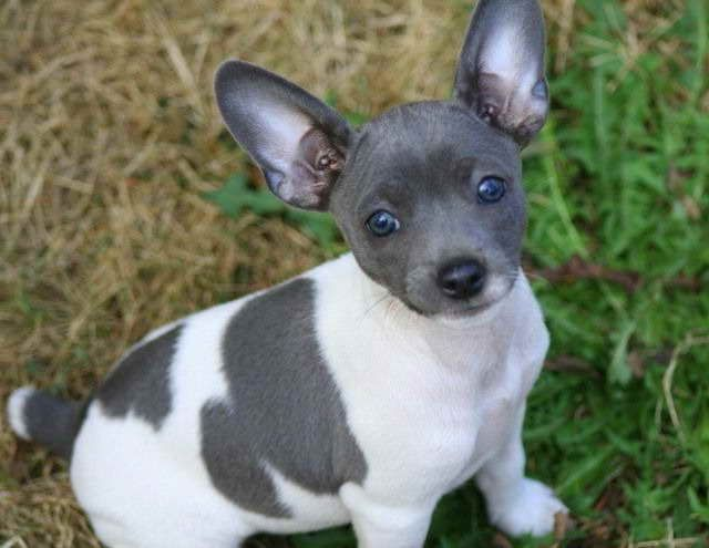 Blue Rat Terrier Puppies For Sale Rat Terrier Puppies Rat