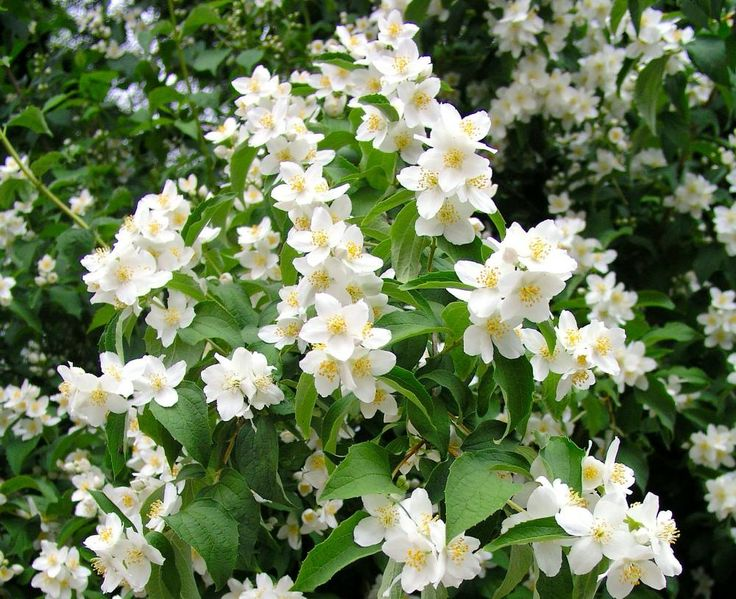 Blütensträucher: Den Duft-Jasmin (Philadelphus) und viele andere Blütensträucher gibt's zum Nulltarif: Stecken Sie im Frühjahr ein bleistiftlanges Stück vom einjährigen Zweig (Steckholz) zu zwei Dritteln in die Erde. Innerhalb von zwei Jahren entsteht daraus ein 60 Zentimeter hoher Strauch.