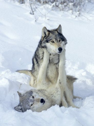 Beautiful Wolves Play in The Snow