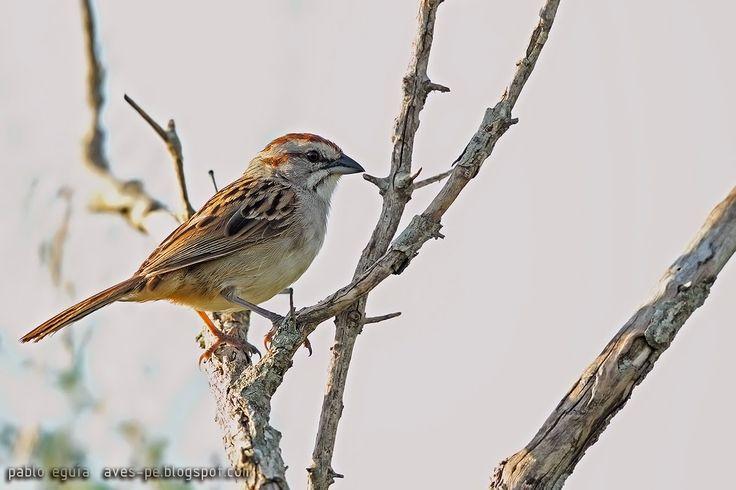 mis fotos de aves: Cachilo corona castaña [Rhynchospiza strigiceps] S...