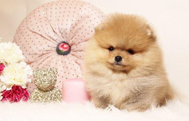 Пушистый комочек .Окрас: рыжий. Документы :метрика щенка родословная РКФ , ветеринарный паспорт. Приучен на пелёнку . Зубы 6/6. Родничка нет. 00 на месте. Идеальный вариант для выставок , разведения и конечно для дома #шпиц#шпицы#mcdonalds#pom#poms#цум#gum#tsum#pomeranian#marani#grill#puppy#instapuppy#spitz#vegas#формулакино#pomeranianspitz#teacuppuppy#male#kennelpomeranian#pomeranian_puppy#шпицмишки#минишпиц#микрощенки#померанскийшпиц#померанец#pomeranian#pompuppy#kennel_pomeranian