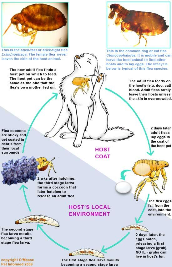 Great picture about the flea life cycle. http://www.pet-informed-veterinary-advice-online.com/images/cat-flea-fleas-life-cycle.jpg