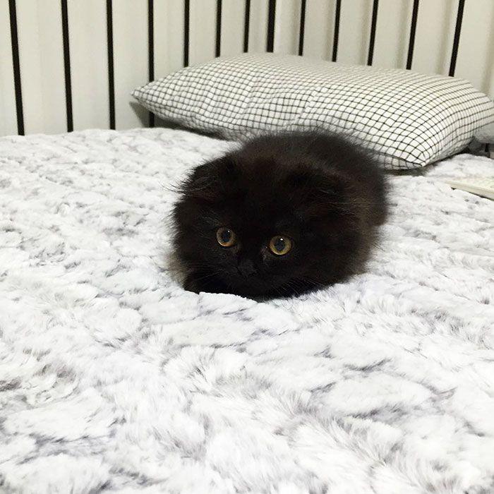 Connaissez-vous Gimo ? C'est la nouvelle star d'internet ! Si Coby vous avait fasciné, sachez que Gimo devrait également faire battre votre cœur. Ce petit chat noir a tout le temps l&...