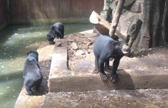 Ours : Une pétition demande la fermeture de l'établissement…Plusieurs vidéos montrant des ours du zoo de Bandung (Indonésie) manifestement affamés et