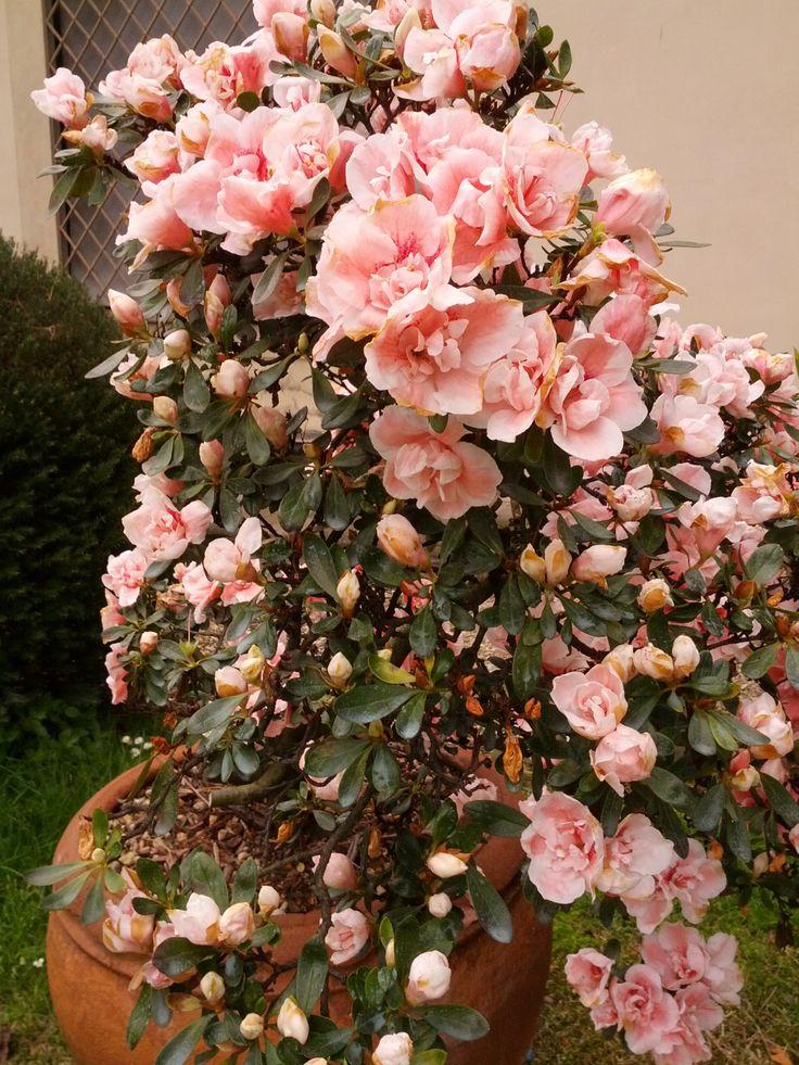 Le storiche #azalee del giardino del #MAF cominciano a fiorire